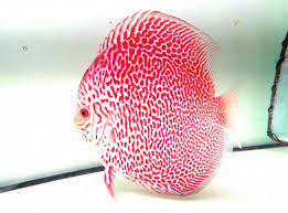 Discus fish: Leopard snake sking discus fish