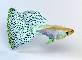 Guppy fish: Characteristics, types, reproduction and more.,..