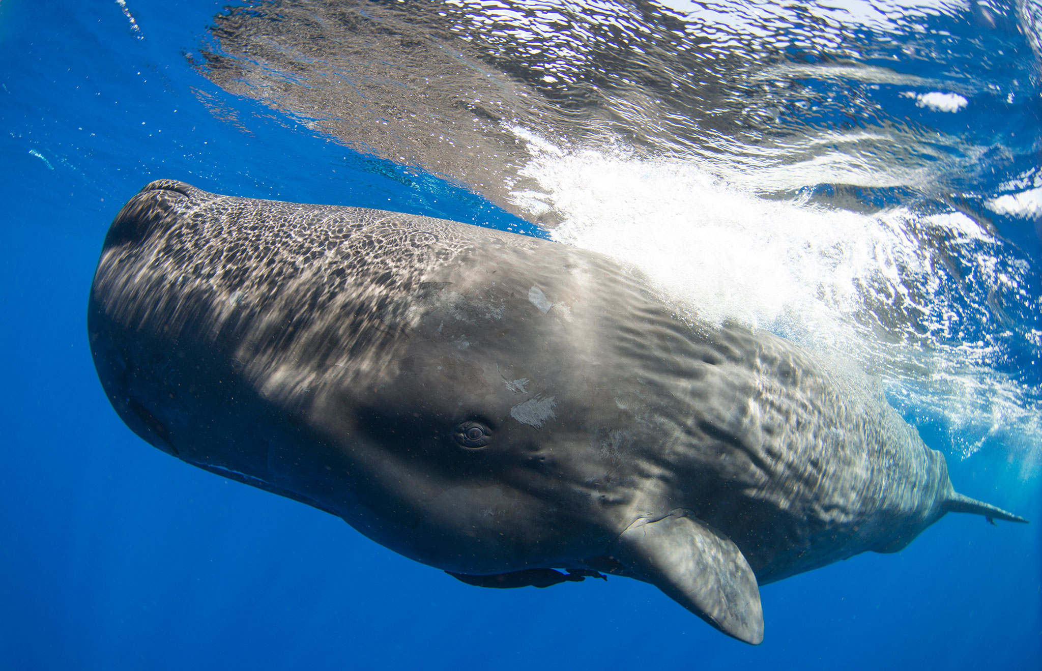 Sperm Whales: The biggest brain in the world
