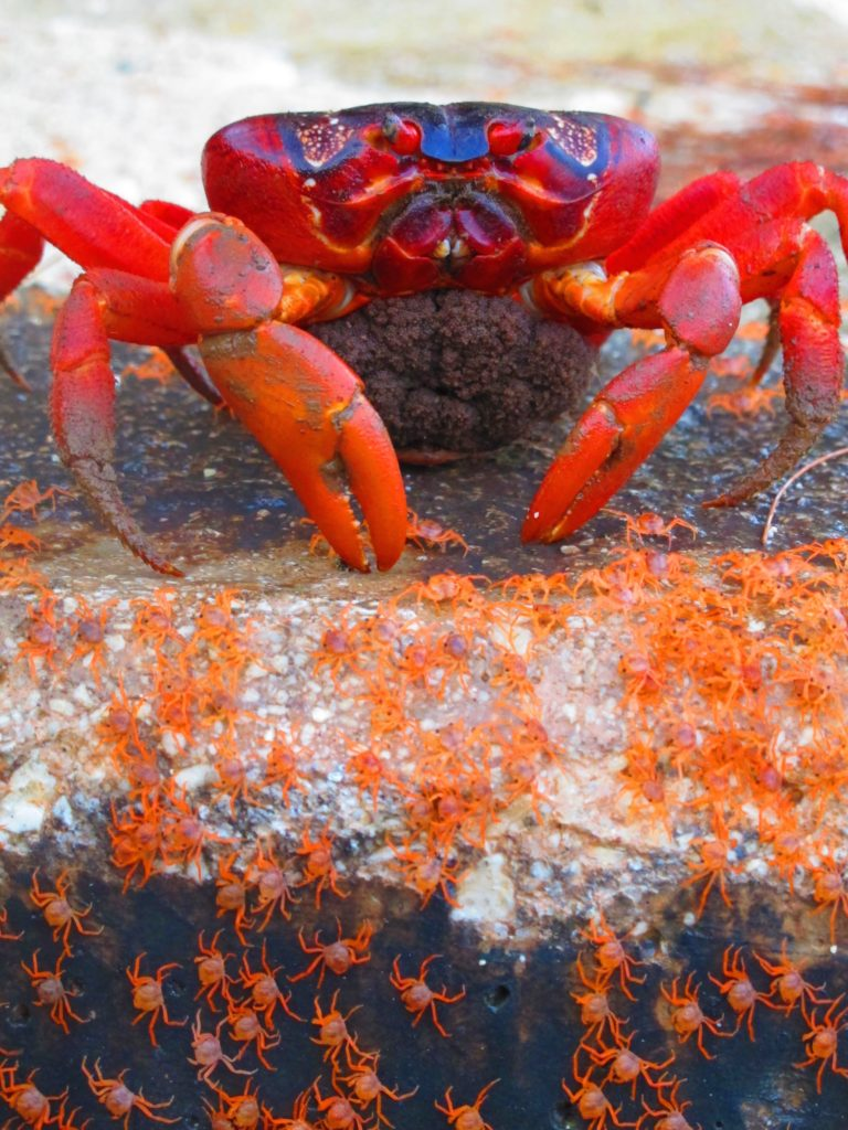 Christmas Island Red Crabs: Characteristics, reproduction and habits