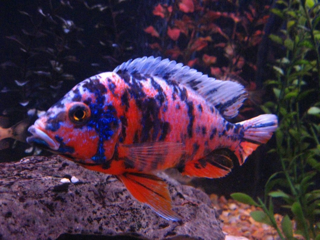 Cichlid Fish Characteristics Types Care And More